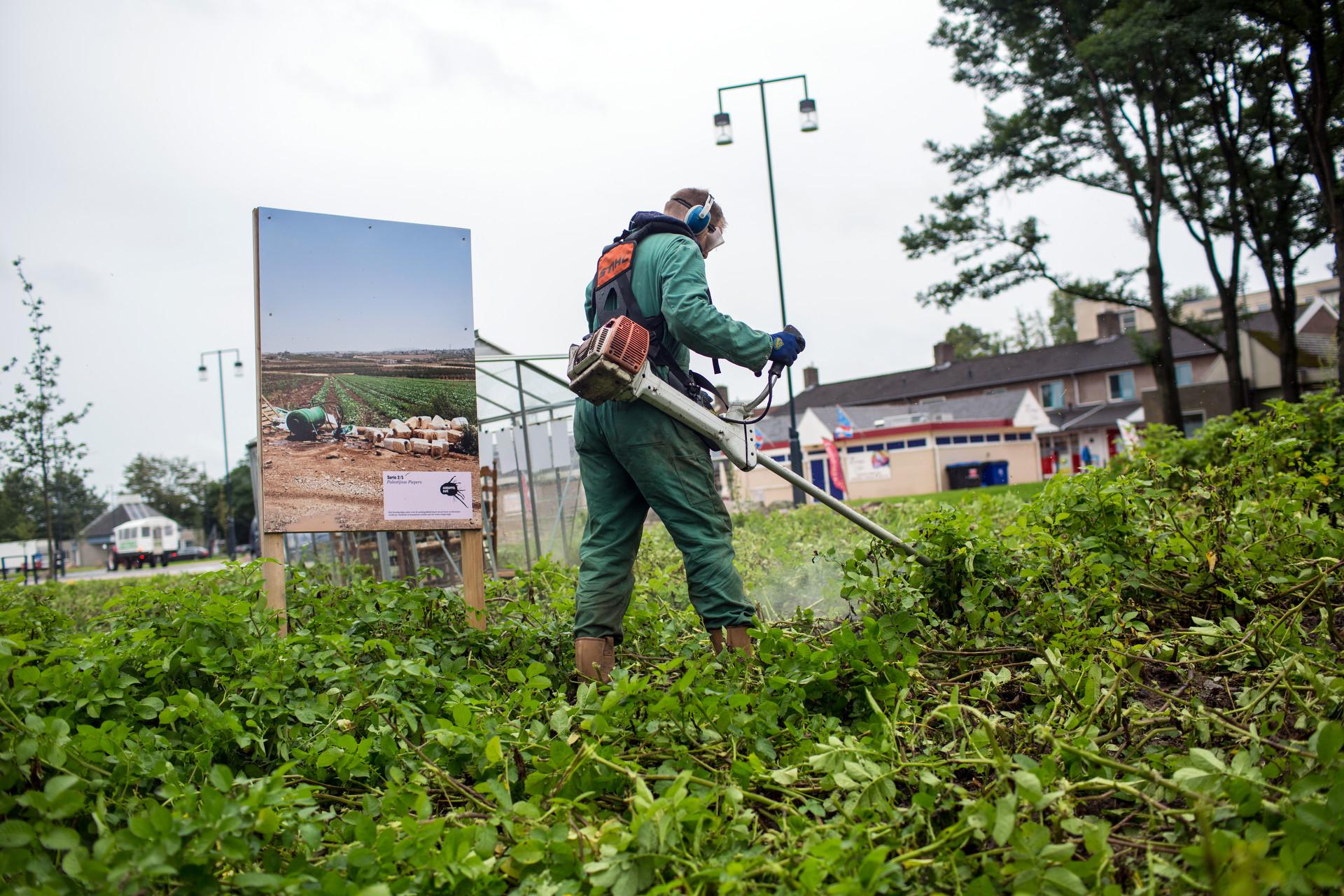 Photo: Dirk-Jan Visser / Borger / The Netherlands / 27-08-2015: het verwijderen van het aardappelloof van het aardappelveld in Borger omdat er phytoftora in zit